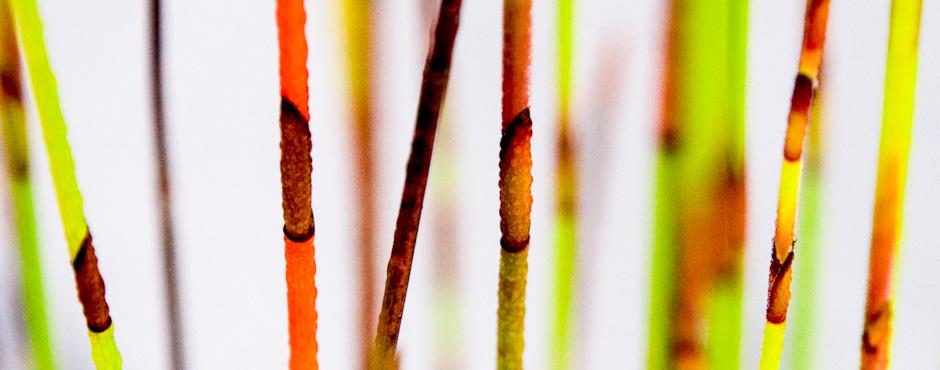 Dewy reeds